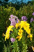 foto of stargazer-lilies  - yellow lily and violet phlox growing in the garden - JPG