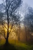 The Sun's Rays Penetrating The Fog In A Pine Forest