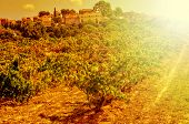 detail of a vineyard in a mediterranean country lit by the evening light