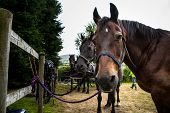 Horses Waiting To Be Harnessed To A Carriage