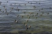 Fulica Atra's On The River