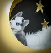 picture of peeking  - Little Husky puppy that looks like he is playing peek a boo sitting in a moon with stars in the background - JPG