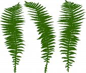 illustration with set of fern silhouettes isolated on white
