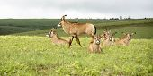 Herd of Roan Antelope on the Hills of Nyika Plateau, Malawi, Africa