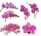 set of pink orchid flowers isolated on white background