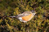 American Robin (turdus Migratorius) In A Tree