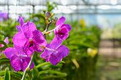 Orchid Hanging In Plant Nursery.