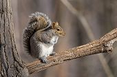 image of grey-haired  - Eastern gray squirrel sitting on a branch. Eastern gray squirrel has predominantly gray fur but it can have a brownish color.