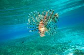 Lion fish swimming under water