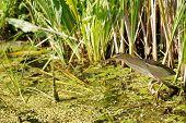 Little bittern hunts on a swamp