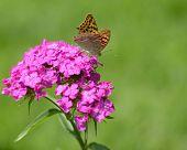 Butterfly on a purple Phlox flower