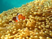 Clownfish Or Anemonefish, Well Known As Nemo, In Sea Anemone