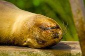 stock photo of sea lion  - sea lion in san cristobal galapagos islands ecuador closeup - JPG
