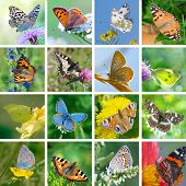 European Butterflies