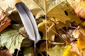 Feather On Leaves