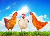 Happy hens standing on a green grass against sunny sky.