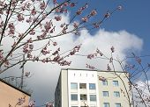 Cherry Blossom And Fifties Architecture Detail