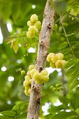 Star Gooseberry On Tree.