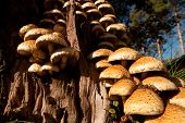 Armillaria fungus in tree