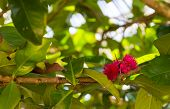 image of malay  - Pomerac or Malay Apple pink blooming flower - JPG