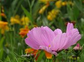 Cosmos in English country garden.