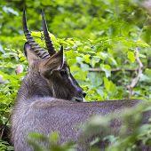 Impala in Maasai Mara National Reserve Kenya.