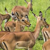 Female Impala Antelopes In Maasai Mara National Reserve, Kenya.