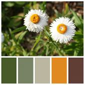 Xerochrysum Bracteatum With Complimentary Colour Swatches
