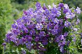 Clematis flowers in a garden