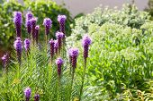 Purple Liatris Flowers