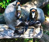 Brazza´s monkey family in the sunshine
