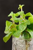 Fresh Mint In Glass Mug On Black Background