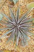 Cactus Haworthia