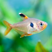 picture of freshwater fish  - A green beautiful planted freshwater aquarium with Tetra fish. (macro soft focus).