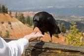 A suspicious raven