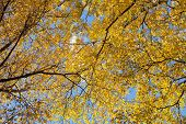 Autumn. Birch Leaves In The Blue Sky. Landscape.