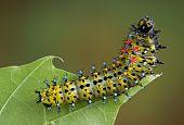 Cecropia Caterpillar On Leaf