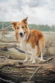 Red Border Collie Dog Is Standing On A Log