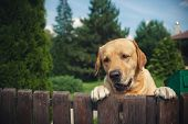 foto of labradors  - Labrador dog peeping from behind a fence in summer - JPG