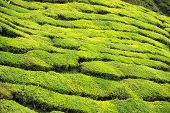 Closeup Of Tea Bushes At Tea Plantation
