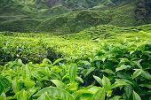 Closeup Of Tea Leves And Bushes At Tea Plantation