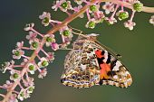 stock photo of pokeweed  - A painted lady butterfly is perched on a branch of pokeweed - JPG