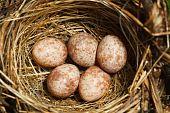 The Nest Of The Blyth's Reed Warbler , Acrocephalus Dumetorum