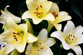 pic of fleur de lis  - Beautiful lilies in the garden - JPG