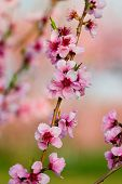 Peach Flower Blooming in Spring