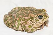 stock photo of ugly  - Big Ugly Frog Common European Toad Bufo - JPG