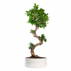 foto of ginseng  - Ficus microcarpa ginseng tree isolated on white - JPG
