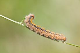 foto of eggar  - Grass Eggar Caterpillar eating on a small branch - JPG