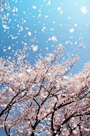 picture of floating  - Magnificent  scene of cherry blossoms flower petals floating and blown in a spring breeze - JPG