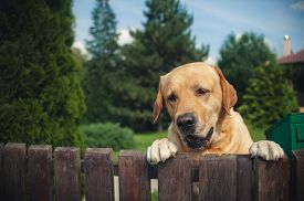 foto of labrador  - Labrador dog peeping from behind a fence in summer - JPG